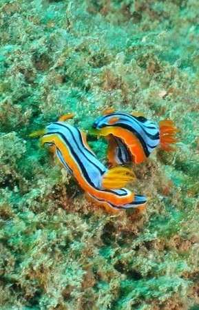 Unawatuna Diving Centre : more nudibranchs