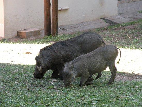Chobe Marina Lodge: Haus und Hof Warzenschweine