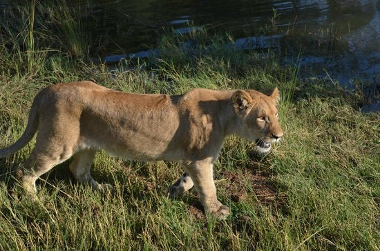 Lion Encounter: On the way to explore the river shore