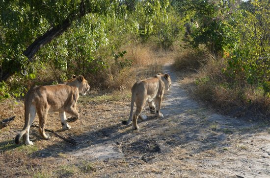 Lion Encounter: Leisurely afternoon walk