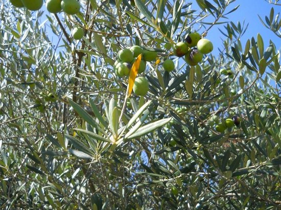 VML Winery: Olive trees