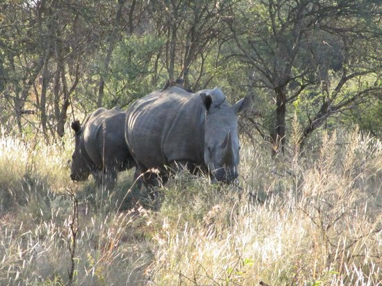 Madikwe River Lodge: White Rhino/Madikwe