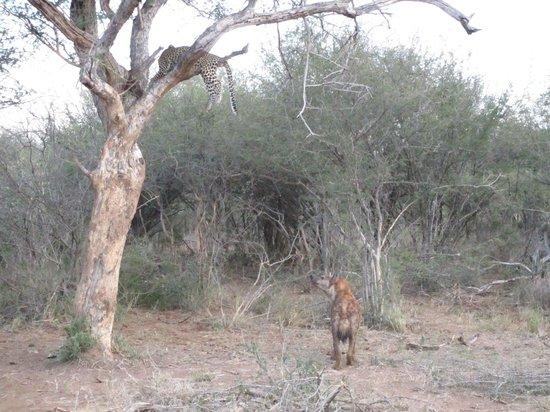 Madikwe River Lodge: Leopard & Hyena/Madikwe