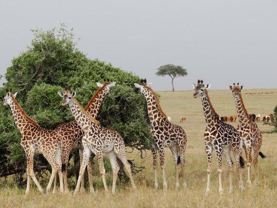 Oloshaiki Camp: Giraffenfamilie