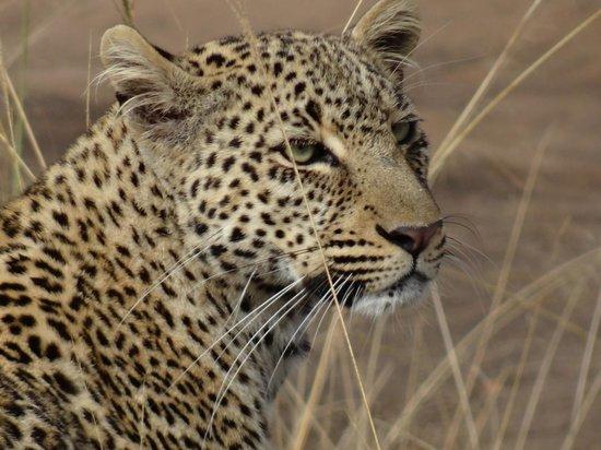 Oloshaiki Camp: Einmalig schön, das Gesicht eines Leoparden