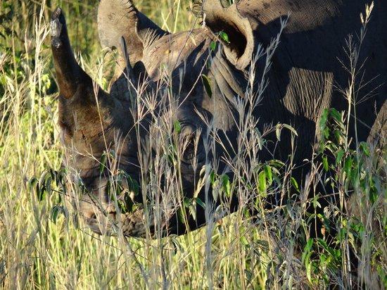 Oloshaiki Camp: Das in der Mara seltene Rhino fehlt oft für die BIG FIVE