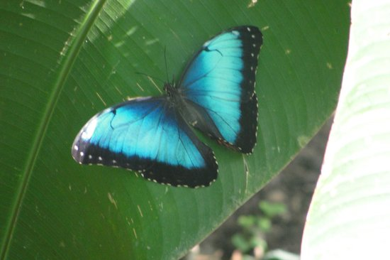 CREN Day Tours: Morpho ?? Butterfly