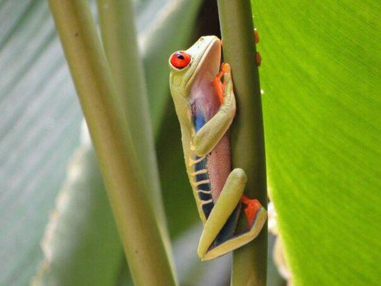 CREN Day Tours: Red eyed frog
