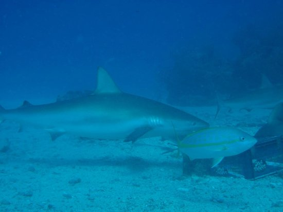 Simpson Bay, St-Martin/St Maarten : Dive Safaris Shark Dive