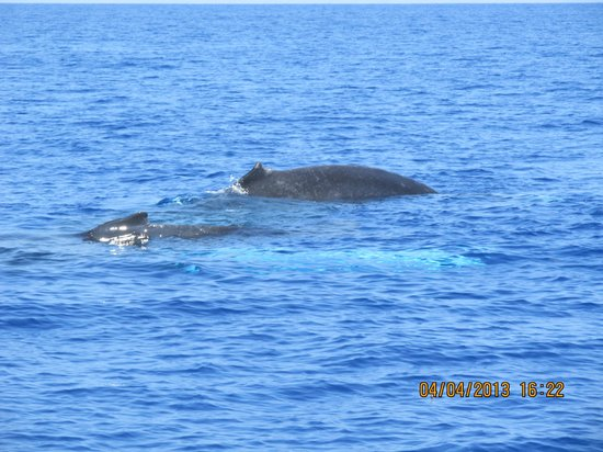 Ultimate Whale Watch & Snorkel : Calf playing while Mother sleeps!