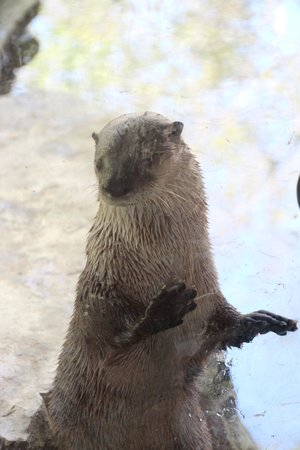 Wildlife Images - Rehabilitation & Education Center: River Otter