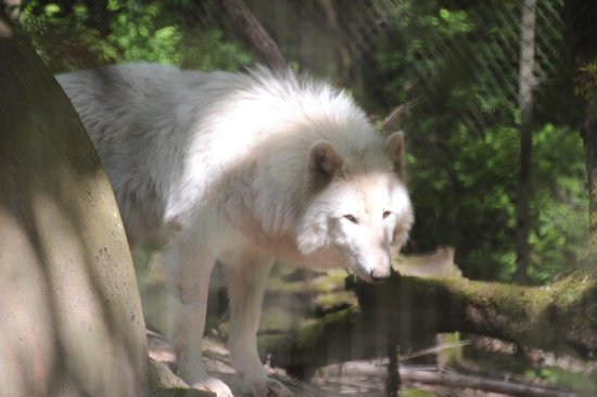 Wildlife Images - Rehabilitation & Education Center: Wolf