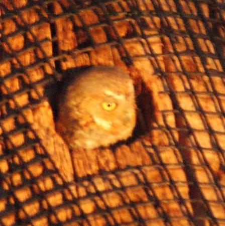 Battiste's Bed, Breakfast & Birds : Elf Owl in the back yard