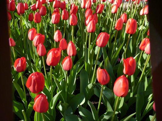 Bowling Green: Tulips 2