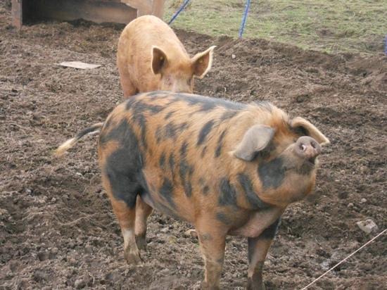 Torcastle House B&B: The piggies