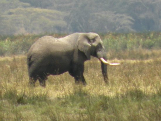 Ngurdoto Crater: Large male elephant