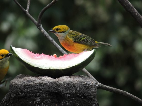 Boquete Garden Inn: Silver-throated tanager in the hotel garden