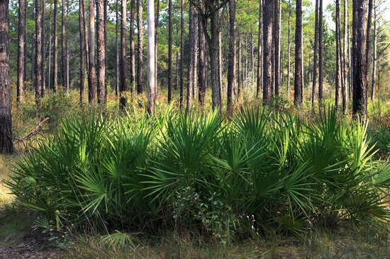 Reed Bingham State Park: Saw Palmetto