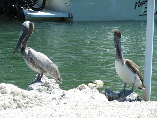 Salty's Waterfront Grill: Pelicans feeding off fish scraps