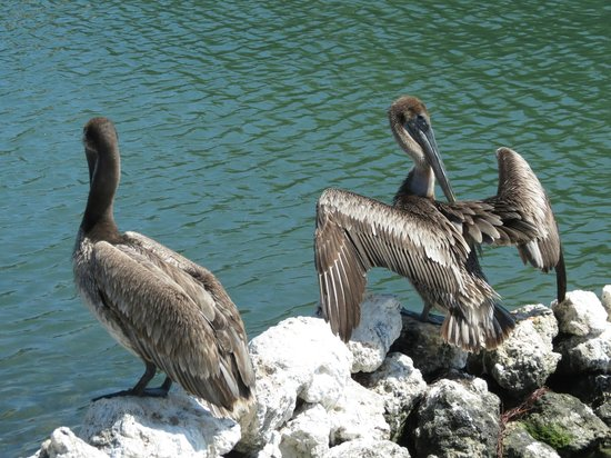 Salty's Waterfront Grill: Up close with the pelicans on the boardwalk