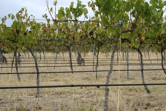 Kabminye Winery : Kangaroo in the vines