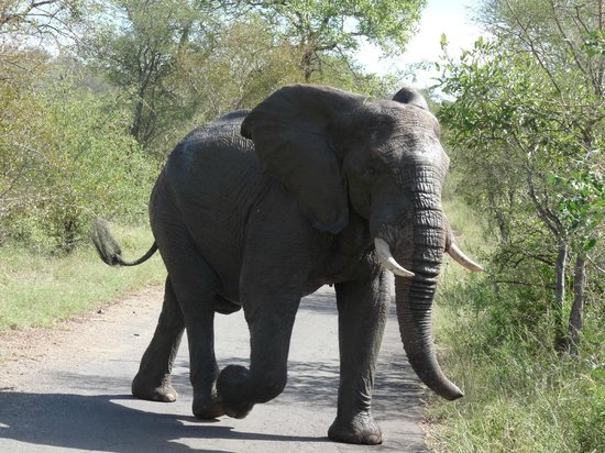Muweti Bush Lodge: Elephants have right of way!!