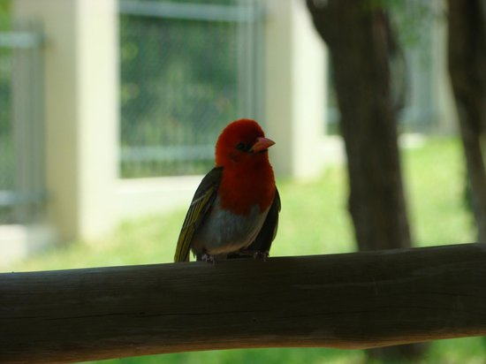 Muweti Bush Lodge: Red headed weaver watching whilst Mrs Weaver inspects the nest that he built.