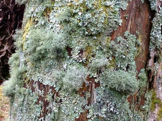 Mull Magic Wildlife - Day Tours: Bearded Lichen