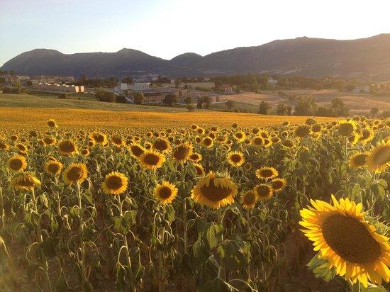 Colle Ridente Borgo Storico: girasoli