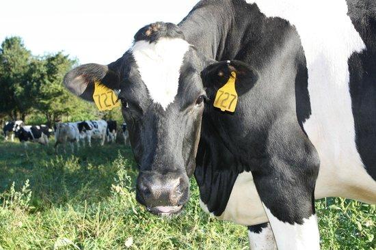 Richardson's Ice Cream: Cows at Richardson's Farm