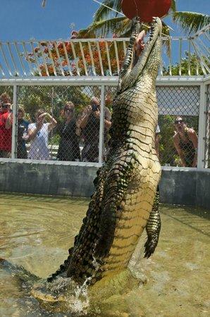 f05eb54cf690 Cayman Turtle Centre  Island Wildlife Encounter  Smiley the crocodile
