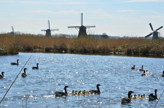 Kinderdijk, The Netherlands: Ducklings with the Mills.