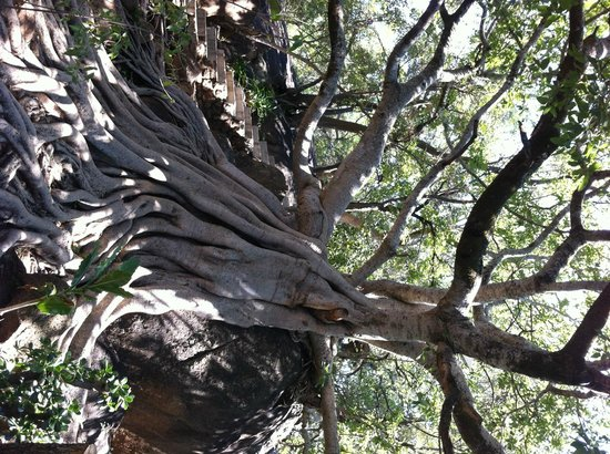 مابولا جيم لودج: Tree in grounds