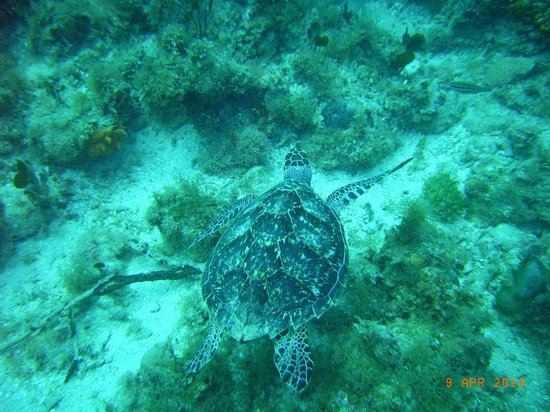 Sandals Ochi Beach Resort: Turtle