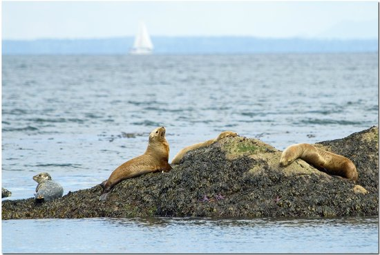 Wild Whales Vancouver : Stellar Sea Lions