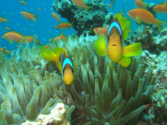 South Sinai, Egypten: Clownsfishes