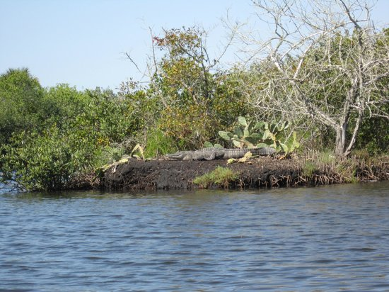A Day Away Kayak Tours: Alligator on bank