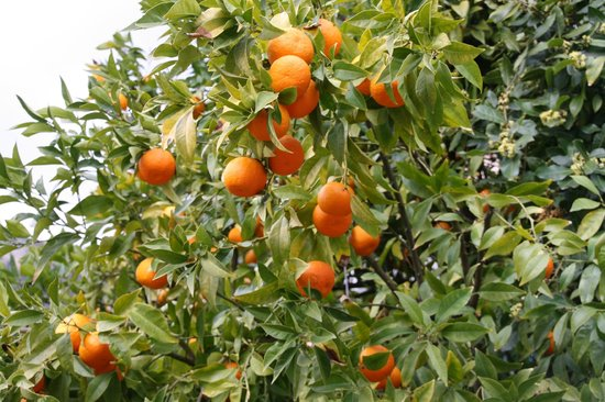 La Bastide Saint Christophe : One of the orange trees in the garden