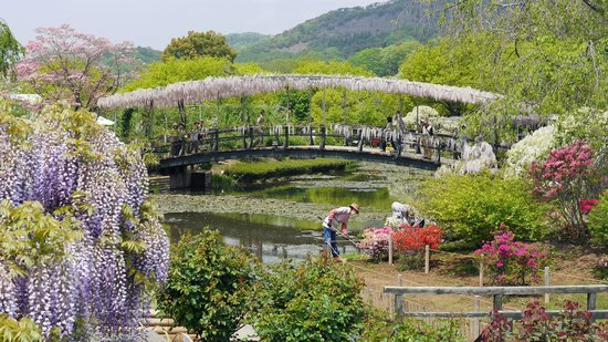 Ashikaga Flower Park : Side view of wisteria bridge