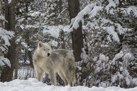 Yamnuska Wolfdog Sanctuary: On watch
