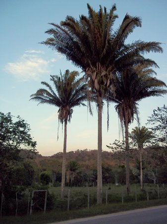 Cool M Farm: palm trees in the pasture