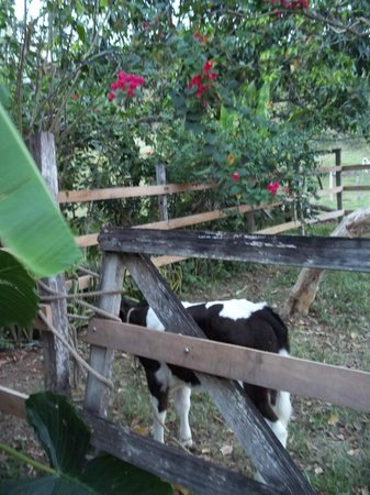 Cool M Farm: a friendly calf we petter