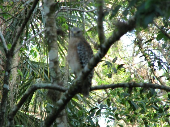 Fakahatchee Strand Preserve State Park & Boardwalk: Red Shouldered Hawk joined us as we lingered quietly at the end of the boardwalk