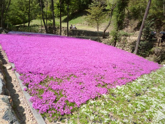 Yamasa Kamaboko Yumesenkan: 芝桜