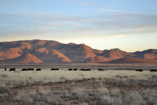 Hideout Ranch: Silhouetted against the Peloncillos, the Hideout herd moves out to the grazing range as dusk set