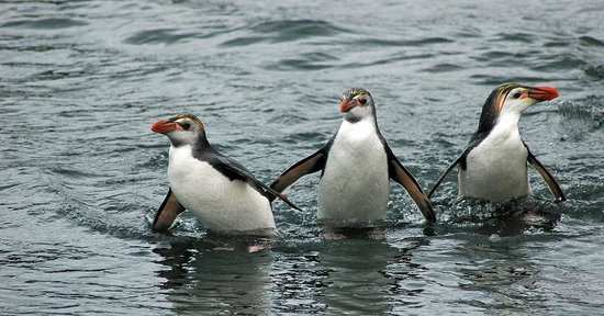 Tasmania, Australia: A trio of royal penguins comes back to the island