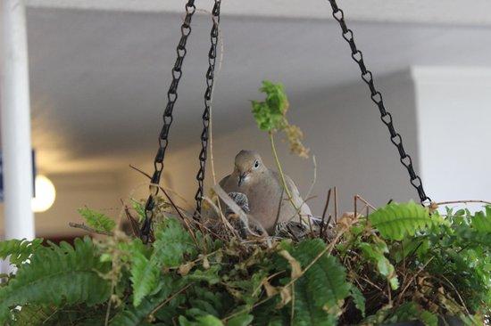 Captiva Beach Resort: Pigeon and baby birds