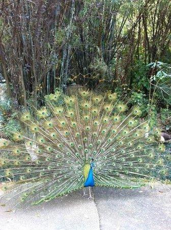 TANGLA Dongguan: beautiful peacock