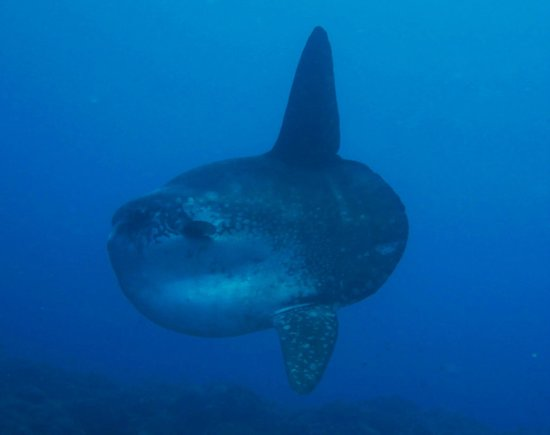 Mola Mola Or The Giant Ocean Sunfish Picture Of Bali