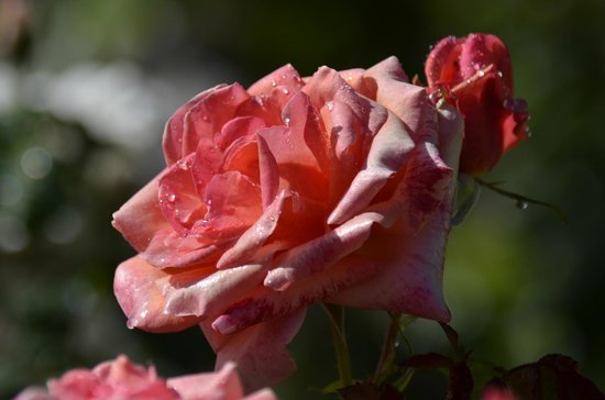 Roses in the gardens of Havelock House